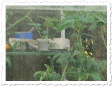 Seestern zwischen Tomatenpflanzen in ihrem neuen Zuhause...