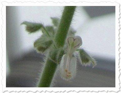 Gänsehautstimmung! Heute am 4. Oktober '10 öffnet sich ein Mini-Blütenkelch, und zeigt ein Herzchen...