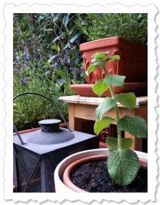 Djusa - frisch eingepflanzt und bei ihren 'Großen Schwestern', dem ebenfalls duftenden Lavendel auf meiner Terrasse....
