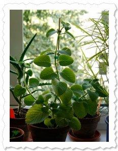 Raja wächst und gedeiht in Gesellschaft anderer Heilpflanzen. Die Seitentriebe spireßen mit weichen samtigen Blättern