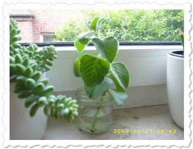 Baruka am 27. Mai '09 in Aachen hat im Wasserglas schon viele Wurzeln!