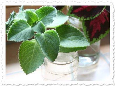 Dharma am 25. Mai 2009 - in der Kinderstube zusammen mit Buntnesseln und einer Euphorbia.