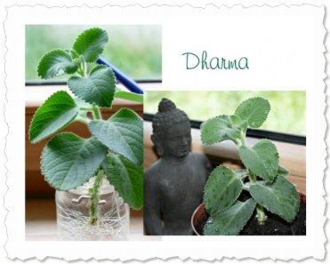 Dharma, die PowerFrau ;-) wuchs schon vor dem Eintopfen am 31. Mai '09 weiter