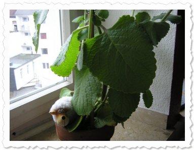 Yusti mit Riesenblättern (13 cm breit!)