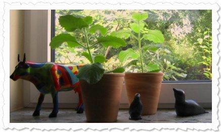 Ailika und Malina sind inzwischen in Erde gepflanzt und bereits kräftig gewachsen 7. August '09