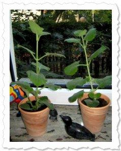 Malina & Ailika wachsen und gedeihen prächtig und haben auch schon richtig große Blätter (18. August '09 in Mannheim)
