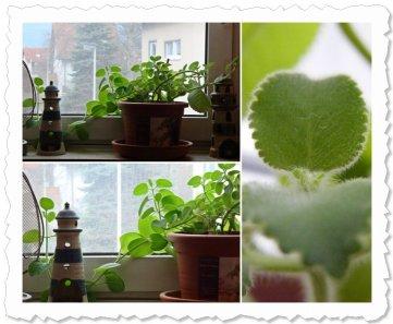 März 2010 - Urmelchen das Wucherchen Trotz klirrekaltem Fenster und auf bollernder Heizung wuchert sie.