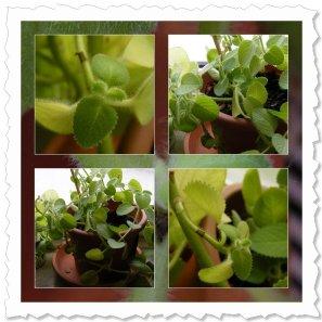 HILFE! Urmel bekommt seit vier Wochen zunehmend gelbe Blätter und verblasst. Einzige Veränderung: Heizung aus.
