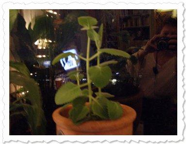 Momo am 1. November '09 in Hamburg Sie ist mittlerweile in einen Terracottatopf umgezogen und wächst und gedeiht.