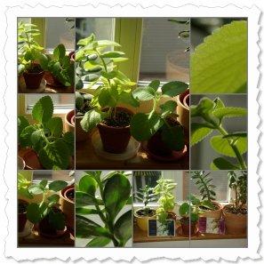 18cm über Grund und 8cm lange Blätter. Soraya gedeiht prächtig, seit Jewel neben ihr auf dem Fensterbrett steht.