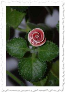 """Flower of Change Fotoaktion """"Advent"""": Ein Wunder, meine Flower blüht vor dem 1.Advent."""