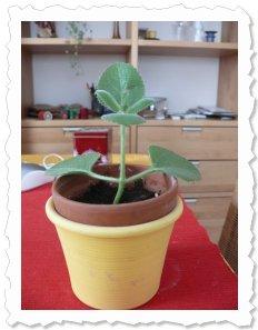 Fjola am 11. Januar '10. Sie hat lieber Blätter getrieben als Wurzeln - aber dann wuchs auch unten was.