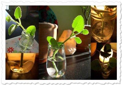 Viva im Wasserglas. Noch ohne Wurzeln gleich nach dem Trennen und mit Wurzeln kurz vor dem ersten Blumentopf.