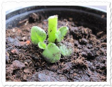 ...und die neuen Triebe hab ich eingepflanzt! D.h. Tara hat einen Ableger bevor sie selbst in die Erde kommt!