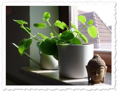 Rabia ist auf der sonnigen Fensterbank in bester Gesellschaft und wächst und gedeiht prächtig!