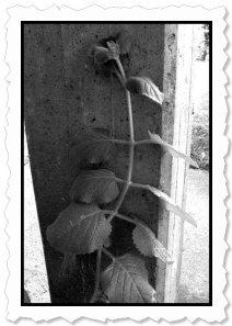 Moods... Flower of Change - Shimei in Pisgone (BS)