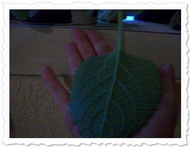 Dafina am 13.07 in Mönchengladbach eins der großen Blätter und sie wäcsht und wächst nur leider noch keine Blüte kommt h