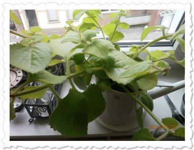 einer meiner vielen Ableger von Dafina in meiner neuen Wohnung und sie wachsen und wachsen