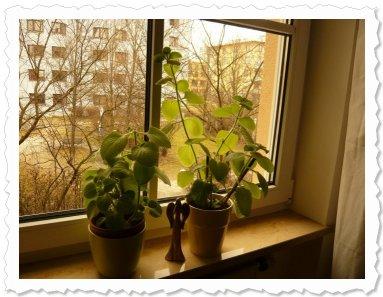 Die 2 Schwestern am 11.2.2011. Die Kugelige spendierte zwischendurch liebevoll Ableger, die Schmale wächst in den Himmel
