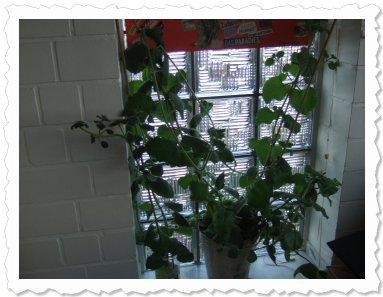 Cathrin, 9,5 Monate, sehr lange Triebe bereits um die Hälfte gestutzt ... große, saftige, dunkle Blätter...