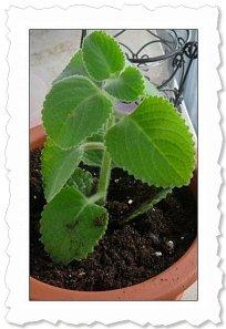 Fleurine am 19. Februar '11 (am 12.2.11 wurde sie in Erde gepflanzt, nachdem sie schöne Würzelchen gebildet hatte) :-)