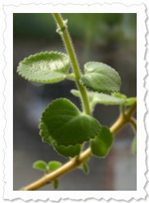 22. April '12, ich habe eine beachtliche Länge erreicht, jetzt entwickel ich schöne käftige Blätter