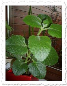 Alina-Malu am 5.7.2011. alina malu entwickelt sich zu einer stattlichen pflanze. ;-)