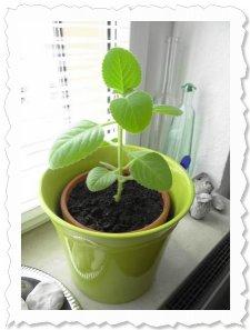 Nala wächst, gedeiht und duftet - 23.Juni 2013