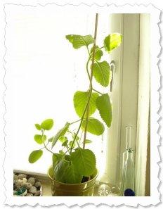 Nala am 9. August 2012: Sie wächst und wächst und benötigt jetzt eine Rankhilfe :)