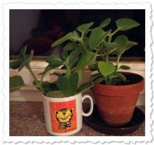 Juli 2013: frisch abgeschnitten mit Mutterpflanze Ashanta und Geschwistern...
